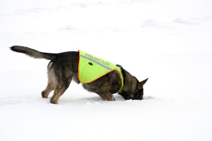 Psy często towarzyszą podczas akcji ratunkowych.